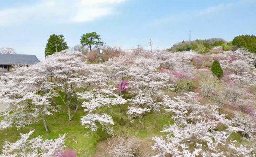 桜公園撮影依頼
